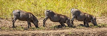 Three common warthog (Phacochoerus africanus) graze kneeling in line, Serengeti, Tanzania
