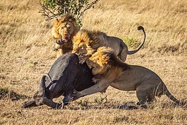 Three male lions (Panthera leo) take down Cape buffalo (Syncerus caffer), Serengeti, Tanzania