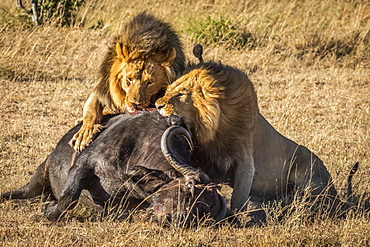 Three male lions (Panthera leo) feed on dead buffalo (Syncerus caffer), Serengeti, Tanzania