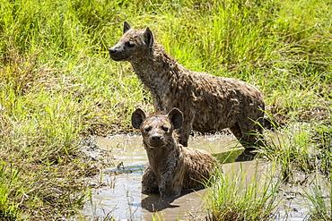 Two spotted hyena (Crocuta crocuta) wallow in muddy pool, Serengeti, Tanzania