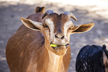 Goat eating something green in it's mouth, Harar, Harari Region, Ethiopia