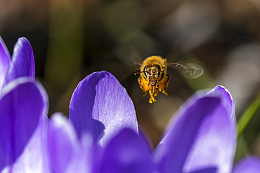 A honey bee visits crocus blossoms, Astoria, Oregon, United States of America
