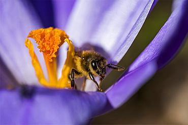 A honey bee enters a crocus blossom, Astoria, Oregon, United States of America