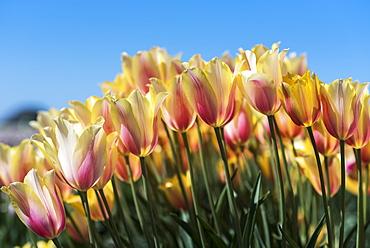 Tulips bloom in a tulip farm, Woodburn, Oregon, United States of America
