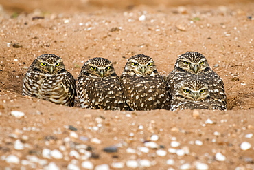 Four Burrowing Owls (Athene cunicularia), peering from the entrance to their burrow, Casa Grande, Arizona, United States of America