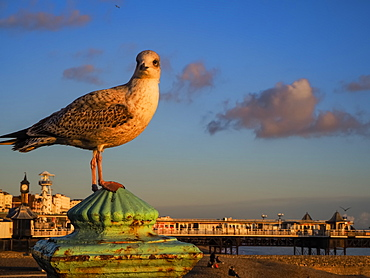 Seagull at sunset with Brighton Pier in background, Brighton, East Sussex, England