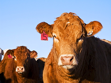 Livestock - Closeup of mixed breeds of beef steers at a feedlot / Alberta, Canada.