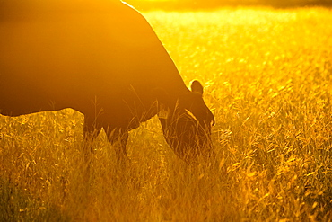 Livestock - Black Angus cow backlit by the early morning sun grazing on a pasture / Childress, Texas, USA.