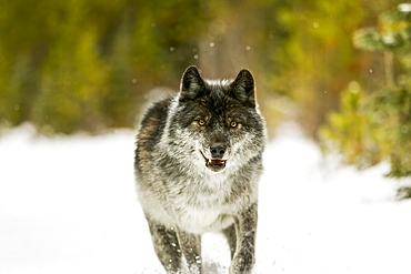 Wolf (Canis lupus) walking in snow; Golden, British Columbia, Canada