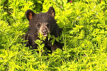 Black bear (Ursus americanus) cub sitting in the plants; Alaska, United States of America