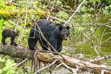 American black bear (Ursus americanus) and cub walking on a fallen log across a river, the cub following the adult; Alaska, United States of America