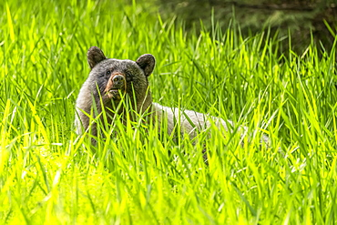 Glacier bear (Ursus americanus emmonsii) peering out from the tall grass, Tongass National Forest; Alaska, United States of America