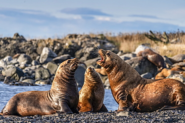 Sea lions on the shore looking as though they are talking to each other; Alaska, United States of America