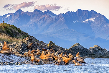 Sea lions leaving the water for shore along the coast of Alaska with a rugged mountain range in the background; Alaska, United States of America