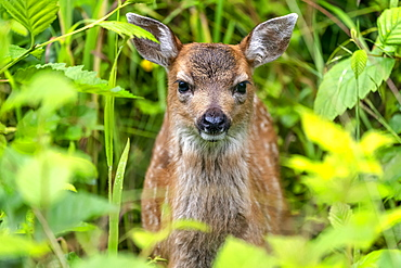 Sitka deer fawn (Odocoileus hemionus sitkensis) peering out from the green foliage, Tongass National Forest; Alaska, United States of America