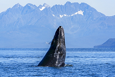 Humpback whale (Megaptera novaeangliae) surfacing, Inside Passage, Lynn Canal; Alaska, United States of America