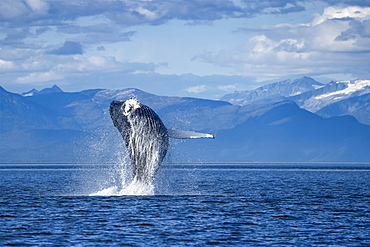 Humpback whale (Megaptera novaeangliae) leaping out of the water of Inside Passage in the Lynn Canal; Alaska, United States of America