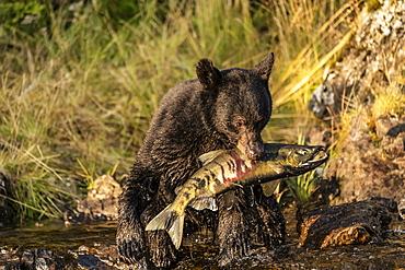 Black bear (Ursus americanus) sitting on the shore eating fresh chum salmon (Oncorhynchus keta) from the stream, Tongass National Forest; Alaska, United States of America