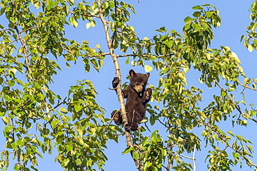 A black bear (Ursus americanus) cub hanging onto a branch at the top of a tree against a blue sky; Alaska, United States of America