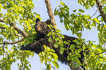 A black bear (Ursus americanus) lays across a tree branch against a blue sky, resting and looking out; Alaska, United States of America