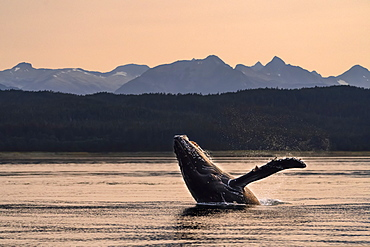 Humpback whale (Megaptera novaeangliae) breaches at sunset, Lynn Canal, Inside Passage, with Chilkat Mountains in the background; Alaska, United States of America