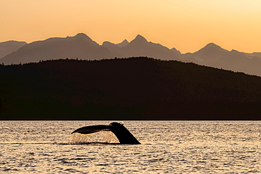 Silhouetted Humpback whale (Megaptera novaeangliae) lifts it's fluke as it feeds at sunset in Lynn Canal along the Alaska coastline; Alaska, United States of America