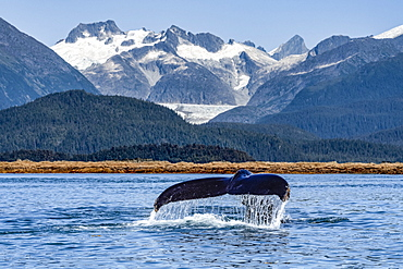 Humpback whale (Megaptera novaeangliae) lifts it's fluke as it feeds in Lynn Canal, with Herbert Glacier and Coast Range in the background; Alaska, United States of America