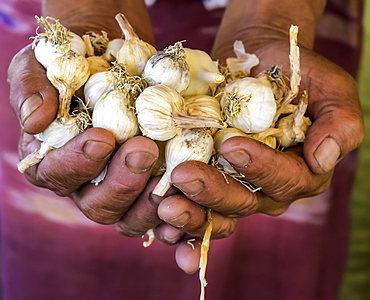 Farmers hands holding shallots; Shan State, Myanmar