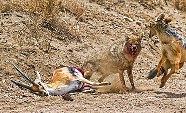 Common Jackal (Canis Aureus) and Black-backed Jackal (Canis mesomelas) attack and kill a Thomson's Gazelle (Gazella thomsoni) for food; Tanzania