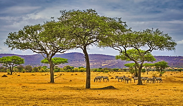 Common zebra (Equus quagga) on the savannah; Tanzania