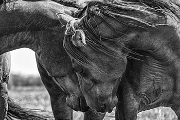 Black and white image of horses touching their heads together showing tenderness; Saskatchewan, Canada