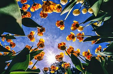 Tulip bed (Tulipa) in bloom against a blue sky with sunburst, New York Botanical Garden; Bronx, New York, United States of America