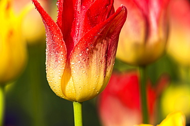 Triumph tulips in bloom, 'Apertif' (Liliaceae), New York Botanical Garden; Bronx, New York, United States of America
