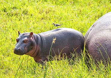 Hippopotamus and calf (Hippopotamus amphibius) by Kazinga Channel, Queen Elizabeth National Park; Western Region, Uganda