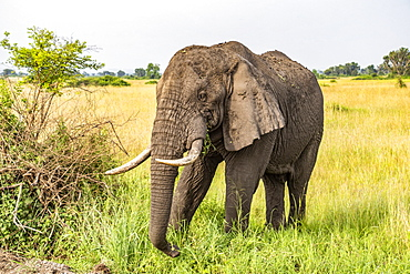 African Elephant (Loxodonta), Queen Elizabeth National Park; Western Region, Uganda