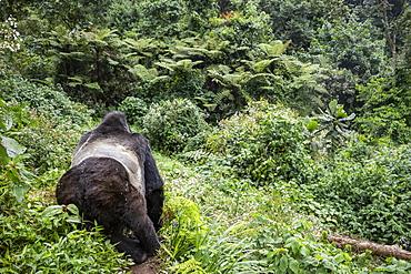 Mountain gorilla (Gorilla beringei beringei), Bwindi Impenetrable National Park; Western Region, Uganda