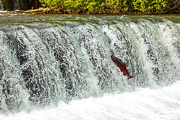 A King Salmon, also known as Chinook salmon (Oncorhynchus tshawytscha), attempts to jump the falls at the Fish Hatchery pond, South-central Alaska; Anchorage, Alaska, United States of America