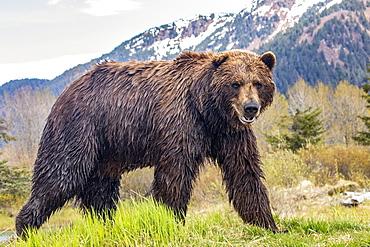 Brown bear (Ursus arctos) boar, large male looks at camera, Alaska Wildlife Conservation Center, South-central Alaska; Alaska, United States of America