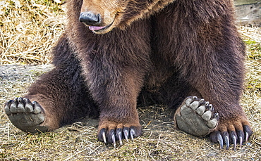 Grizzly bear sow (Ursus arctos horribilis) sitting on ground, Alaska Wildlife Conservation Center; Portage, Alaska, United States of America