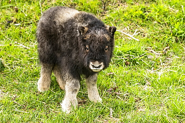 Muskox calf (Ovibos moschatus), less than a month old, looking at the camera, Alaska Wildlife Conservation Center; Portage, Alaska, United States of America