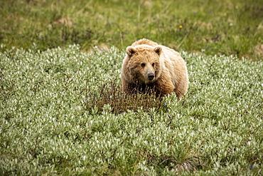 Immature light coloured grizzly bear (Ursus arctos hornbilis), Denali National Park and Preserve; Alaska, United States of America