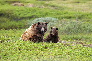 Grizzly bear (Ursus arctos horribilis) sow and cub on tundra, Denali National Park and Preserve; Alaska, United States of America