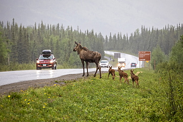 Cow moose (Alces alces) with rare triplet calves try to cross the Park Road in a rainstorm, however, turned back and went into the woods possibly because of the traffic, Denali National Park and Preserve; Alaska, United States of America