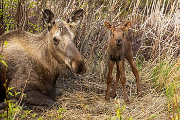 Cow moose (Alces alces) and newborn calf, South-central Alaska; Anchorage, Alaska, United States of America