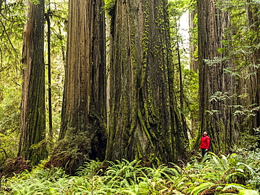 Man standing in the Redwood Forests of Northern California. The trees are massive and reach skyward; California, United States of America
