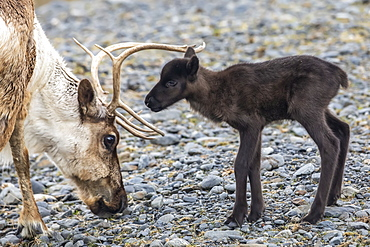 A reindeer (Rangifer tarandus) cow with her new calf, calf staying very close to protective cow, Alaska Wildlife Conservation Center; Portage, Alaska, United States of America