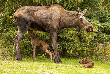 Moose calf (Alces alces) nursing from cow moose while the other calf rests, South-central Alaska; Anchorage, Alaska, United States of America