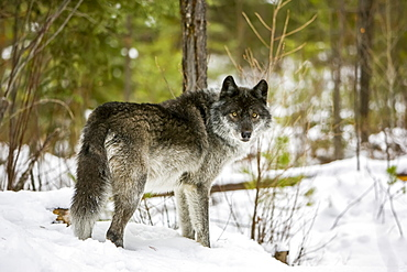 Wolf (Canis lupus) standing in snow; Golden, British Columbia, Canada