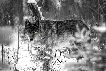 Wolf (Canis lupus) looking out from trees in snow; Golden, British Columbia, Canada