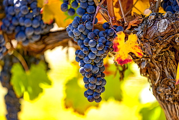 Clusters of grapes (vitis) on a vine with autumn coloured foliage, Okanagan Valley vineyards; British Columbia, Canada